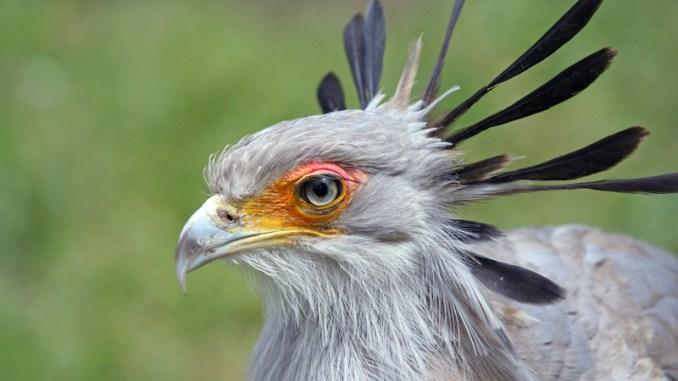 Pájaro Secretario Características