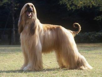 Características del Perro Galgo Afgano