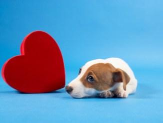 Enfermedades Cardíacas en el Perro