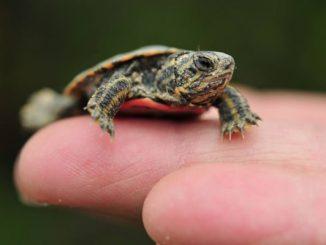 Las Tortugas como Mascotas Caseras