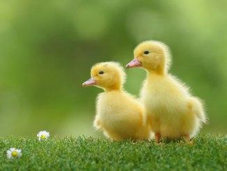 Información General Sobre el Pato Doméstico