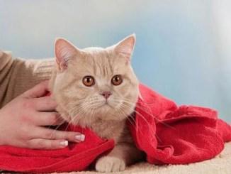 Maneras Naturales de Lavar a tu Gato