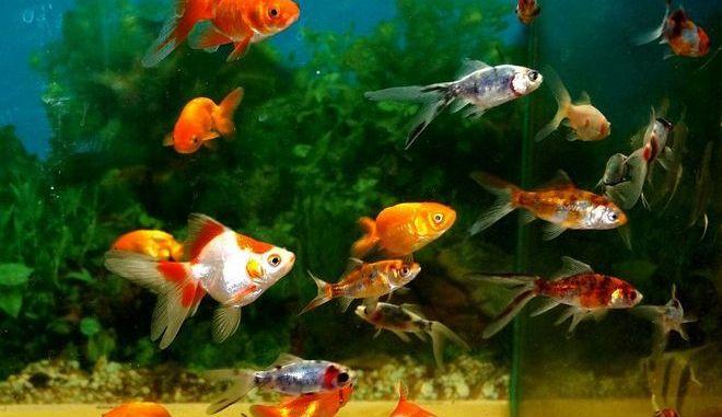 ¿ Por qué se enferman los peces ?