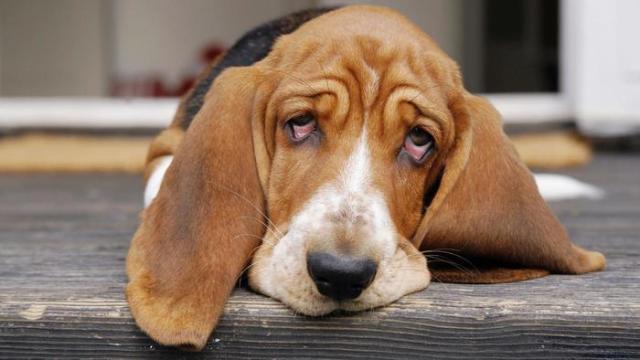 Qué hago si mi perro presenta depresión