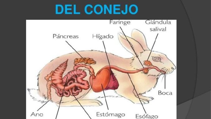 Anatomía y Fisiología de un Conejo