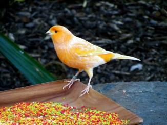 Los Mejores Consejos para Criar Canarios