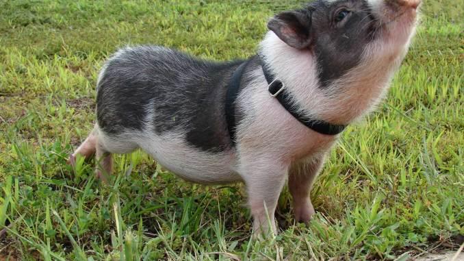 Cómo Cuidar a un Cerdo Vietnamita