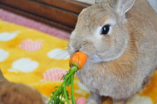 Cuál es el Proceso de Nutrición del Conejo