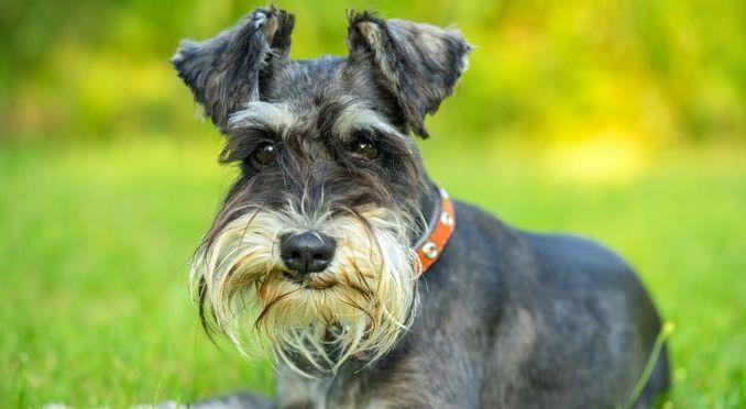 Información sobre Perros Raza Schnauzer