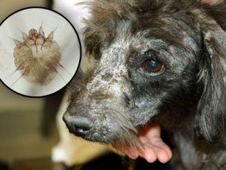 Cómo curar a un perro de la sarna