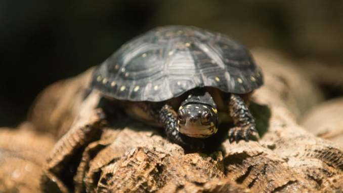 Cuál es la Longevidad de las Tortugas