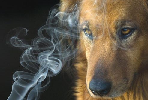 El Tabaquismo Pasivo También Daña las Mascotas