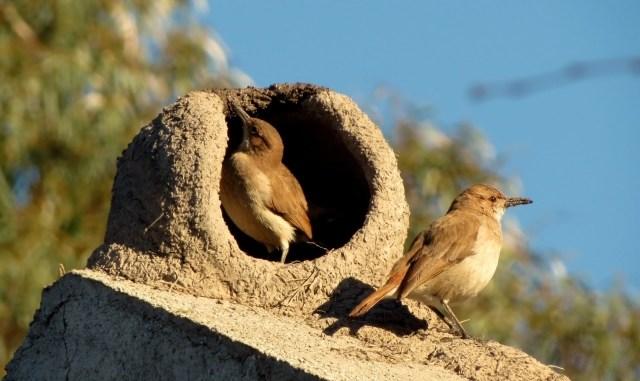 Información y características del ave hornero