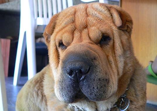 Shar Pei el Perro con Arrugas