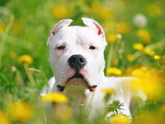 Características y Estándares de la Raza Dogo Argentino