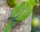 Aratinga-Verde-(4)