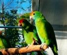 Amazona-Coronirroja-(2)