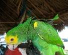 Amazona-de-hombro-gualda-(5)