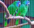 Amazona-gorjirroja-(3)