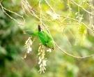 Aratinga-jamaicana-(4)
