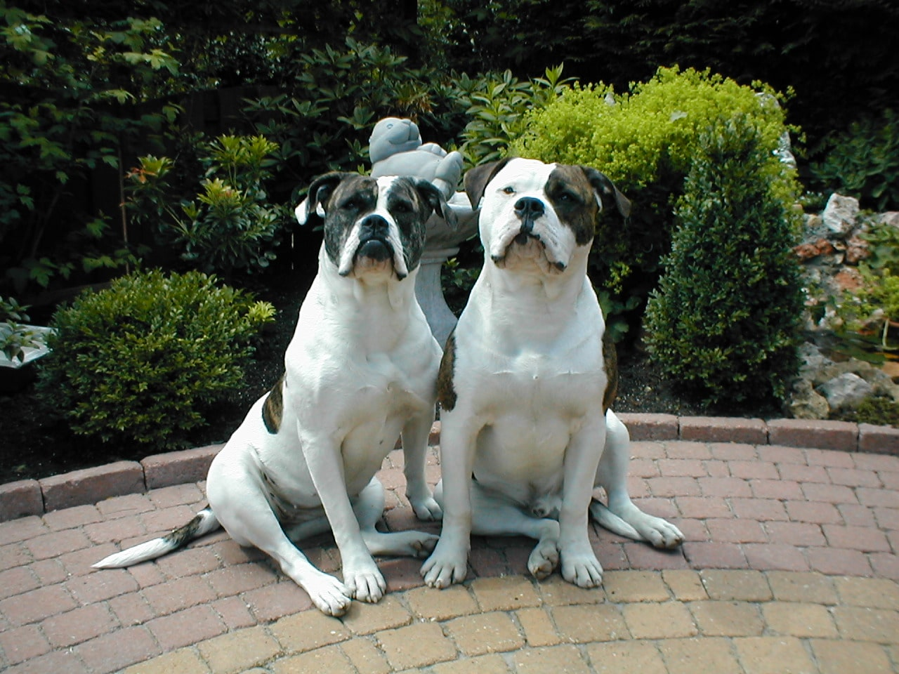 The American American Bulldog Dogo Dogs Breeds Pets