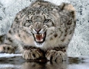 leopardo-de-las-nieves