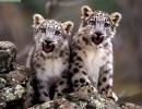 leopardo-de-las-nieves6