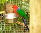 Papagayo-Moluqueno-(3).jpg