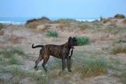 Dogo-espanol-2
