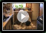 Alaskan Husky Schlittenhunde