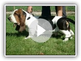 cool training with bassets at the kennel