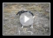 Basset Bleu de Gascogne video Zucht An Naoned