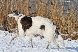 Russische Greyhound