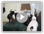 3 vs 1(Min Pin, Manchester, Rat Terrier)