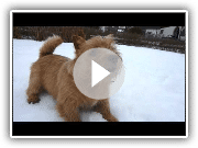 Kalle the Norwich terrier in the snow