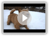 Kalle o Norwich terrier na neve