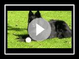belgian shepherd -groenendael