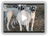 Anatolian Shepherd Dog Pups at 9 months