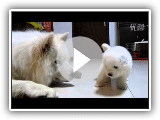 24days old Samoyed puppy 24?????