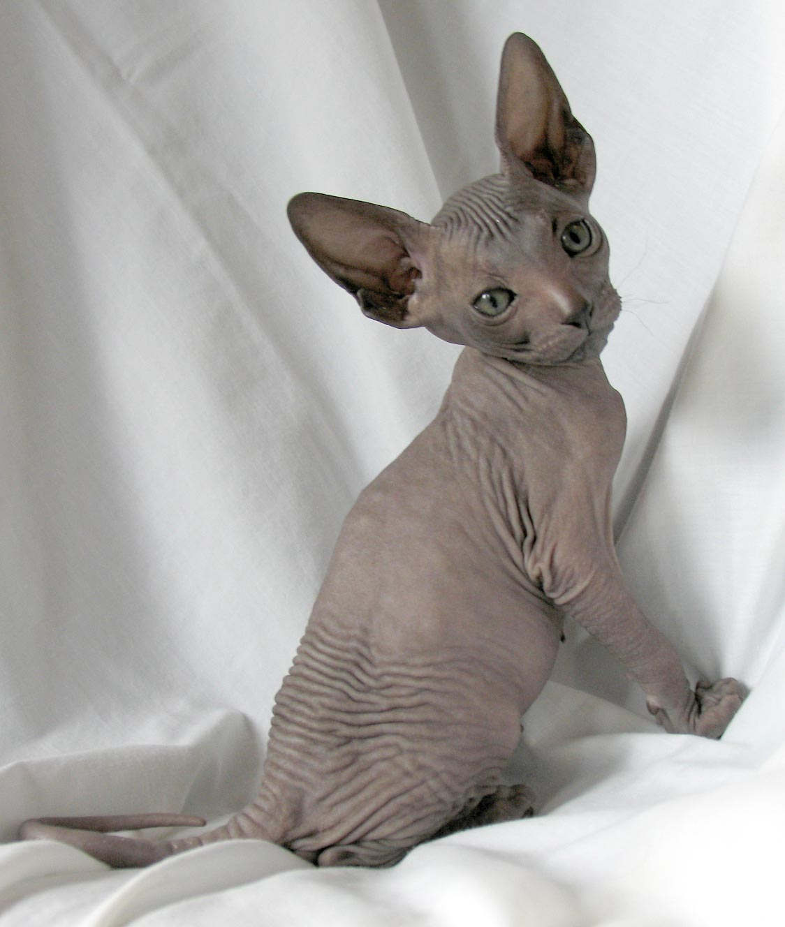 Donskoy Cats Breeds