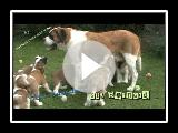 St. Bernard #02 - puppy love