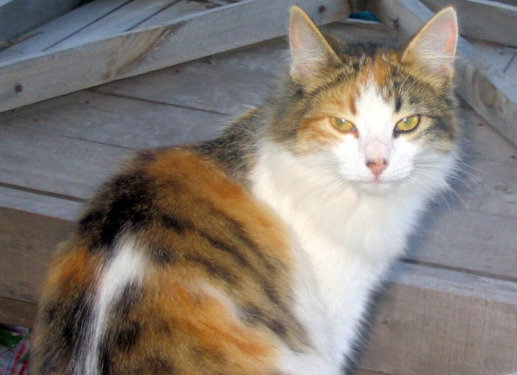 Cat breeds starting with C  History and characteristics