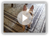Australian Terrier does a few tricks