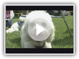 Dogs 101 : Bichon Frise