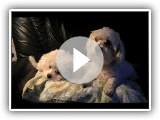 Bichon Maltais - My adorable small Bichons.
