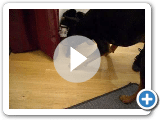 Ashley der Black And Tan Coonhound spielen mit einer Fliege