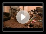 Claymore South African Boerboel Boerboel Mastiff Puppies @ 7 Wochen alt