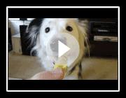 Amazing Dog Tricks von Paige der Border Collie!