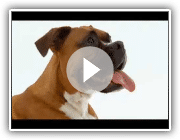 DOGS 101 Boxer