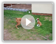 Boxer Dog - Crazy Fun!!